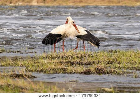 Beloved pair of white storks in a whildlife