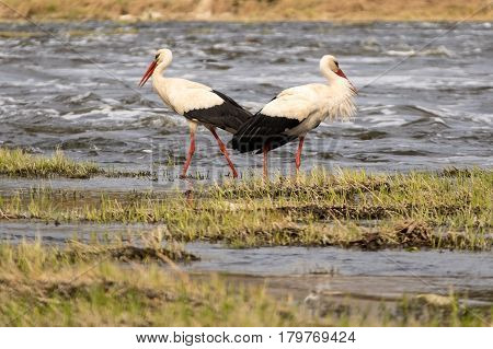 Beloved pair of white storks in a whildlife