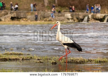 People watching white stork in a wild life