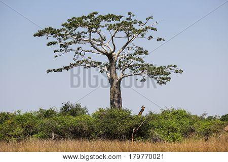 Giraffe under the shadow of a baobab at Kissama National Park - Angola