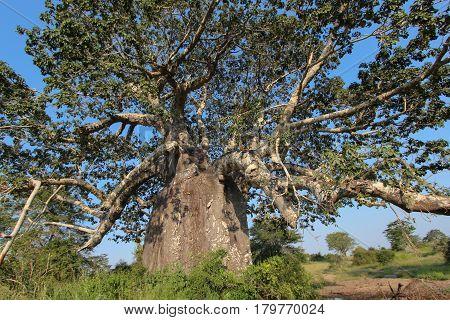 Beautiful and huge Baobab at Kissama National Park - Angola