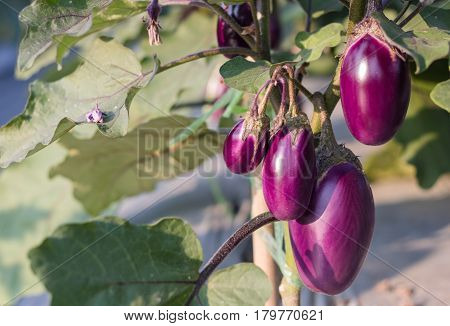 Eggplant growing in field plant ready for harvest agriculture farm.