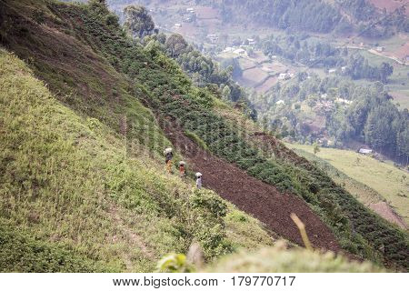 Workers In Hillside Tea Terraces In Rwanda, Africa