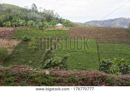 Tea Terrace, Rwanda, Africa