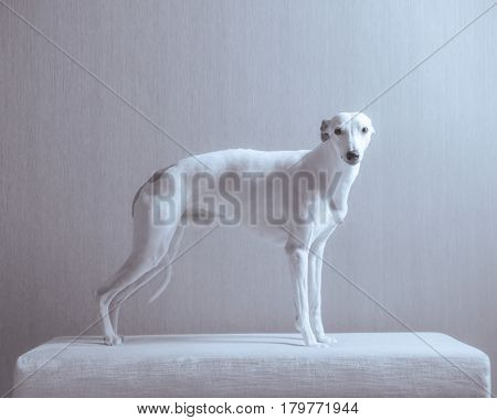 White whippet dog stays on the white sofa on gray background