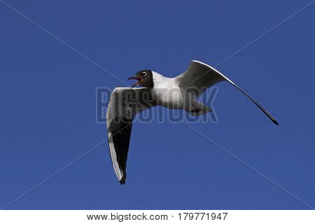 Black-headed gull in flight with blue skies on the background