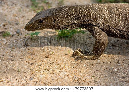 Timor Tree Monitor Lizard Casually Walking On A Sandy Surface.