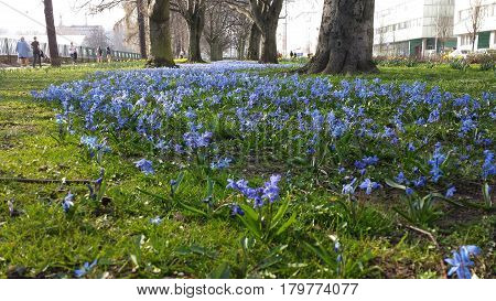 Gdynia, Poland - April 02, 2017: Alley of small blue flowers between trees