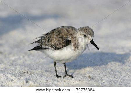 A Sanderling, Calidris alba in winter plumage walking on the beach in Florida poster
