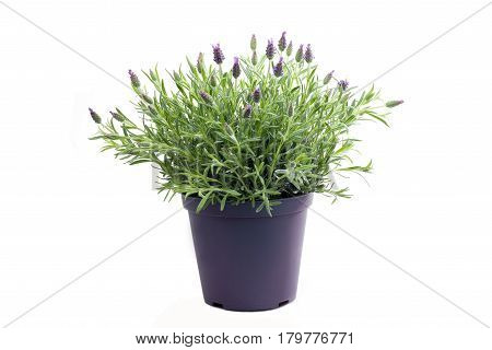 Lavender plant - isolated on white background