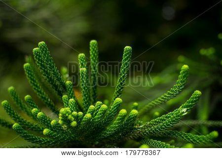 Araucaria heterophylla Leaf, Araucaria excelsa is a member of the Araucariaceae, closeup