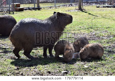 Photograph of a mother capybara and her babies.