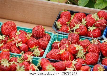 Organic Norwegian strawberies in a paper box. Fresh berries just picked up in the strawberry field in a countryside ready for healthy snacks and desserts.