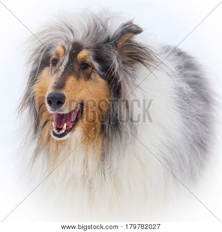 Collie Blue Merle dog on a snowy winters day.