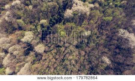 Aerial view of wild cherry tress blooming in forest. Nature awakeing in Bela Krajina, Slovenia.