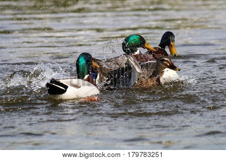 A gang of male mallards attempting to force a mating with a lone female
