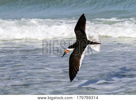A black skimmer flies above the surf in search for food.