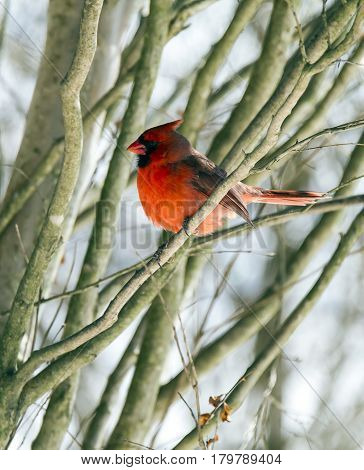 A male cardinal perched in a tree with a snowy background.