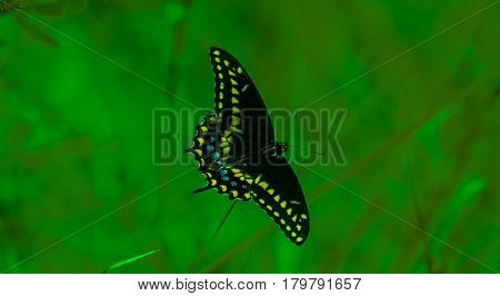 A color enhanced spicebush swallowtail butterfly against a green blurred background