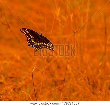 A spicebush swallowtail butterfly in a field with an orange enhanced blurred background