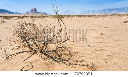 Dried Plant And View Of Sphinx Rock In Wadi Rum