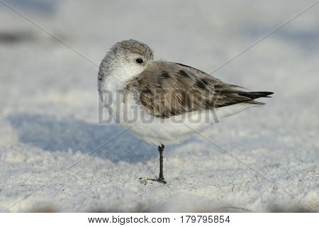 A Sanderling, Calidris alba in winter plumage on the beach in Florida