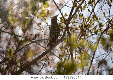 Young Leaves On A Tree And A Starling In The Background