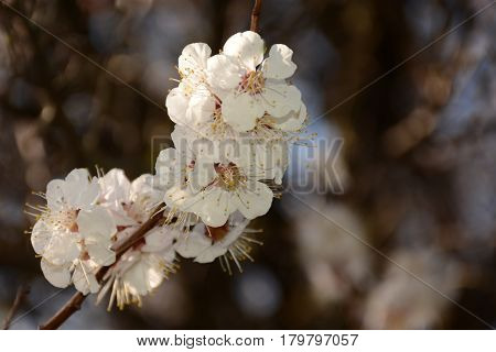 Branch Of A Flowering Tree Close Up