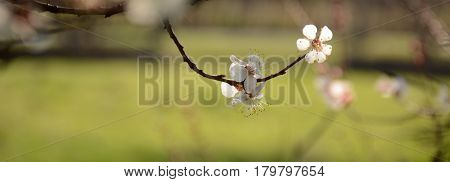 Spring Blooming Flowers On A Tree Branch On A Green Background