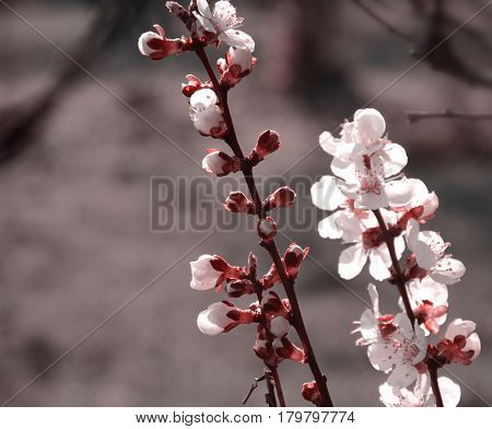 Branches Of A Blossoming Tree In The Sunlight Close Up