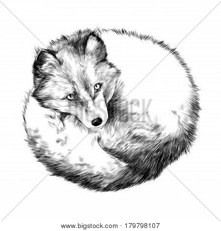 Arctic Fox lying on snow sketch vector graphics black and white drawing