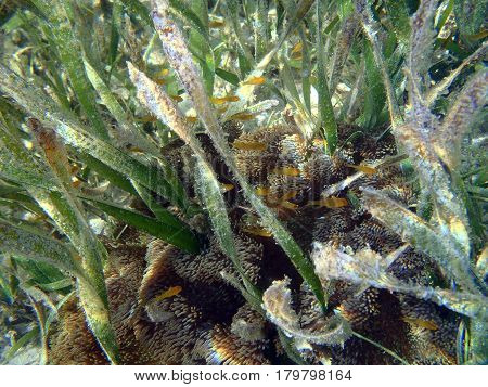 fishes and anemone in Posidonia plant Indonesia
