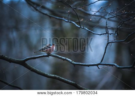 Male House Finch on an icy branch on the tree.