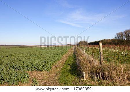 Woodland Plantation And Canola