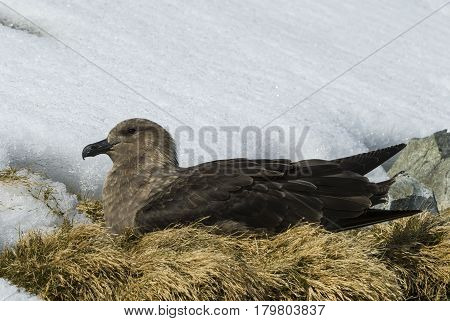 Brown Skua is nesting at Cuvervile in Antarctica