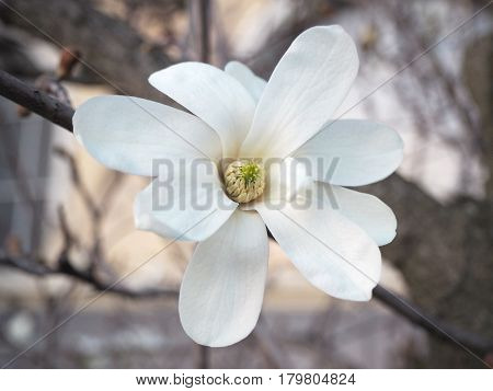 Detail of the white star magnolia blossom, Magnolia stellata blooming in the early spring.