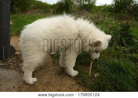 Beautiful Samoyed puppy playing with piece of wood