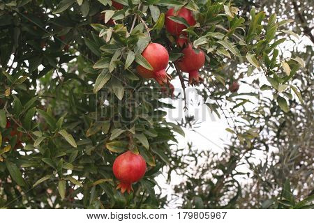 pomegranate tree, tree branch, red pomegranates fruit