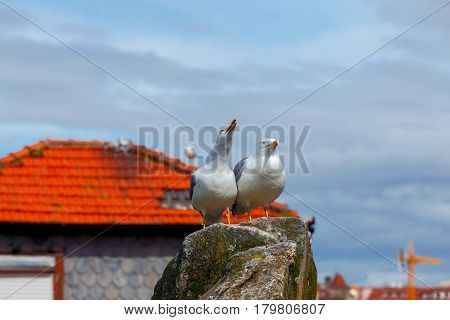 Two large white sea gulls on the background of a red tiled roof in the city of Porto. Portugal.