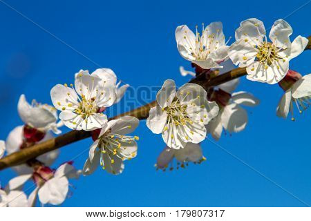 Branch Of Fruit Tree Apricot Blooms