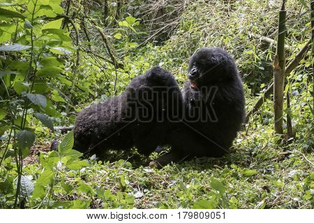 Mountain Gorillas Fighting In Volcanoes National Park, Virunga, Rwanda