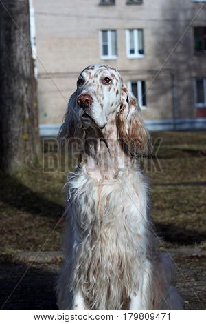 White spotty dog portrait on city architecture background, english setter