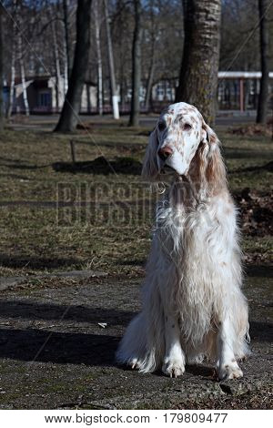 WHite spotty dog with long hair sitting in the spring park, english setter show dog