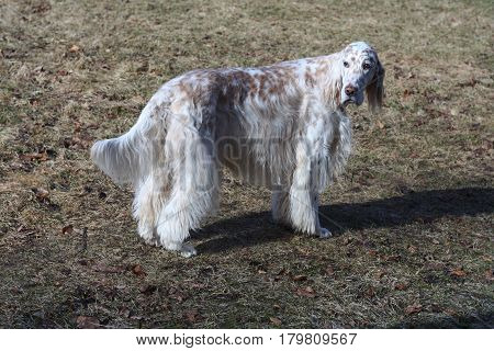 Handsome longhaired white dog of hunting breed - english setter- staying in the spring park