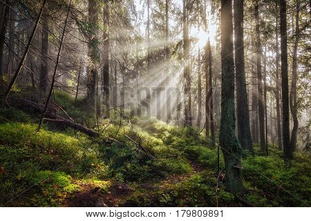 Old deep foggy misty magical autumn forest with sun rays at morning.