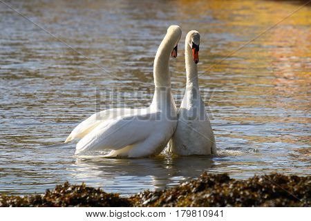A pair of Mute Swans in a courtship display following mating