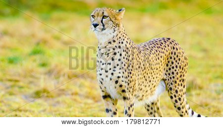 One beautiful cheetah looks after prey or enemies in the evening. African animals.