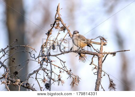 Mockingbird perched on a tree branch on a sunny Winter day in a Maryland forest