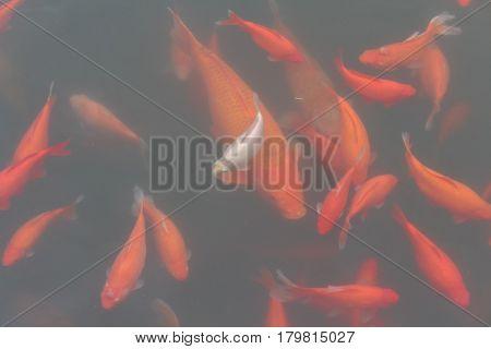 Koi carp fish in the lake or pond. Top view. Horizontal.