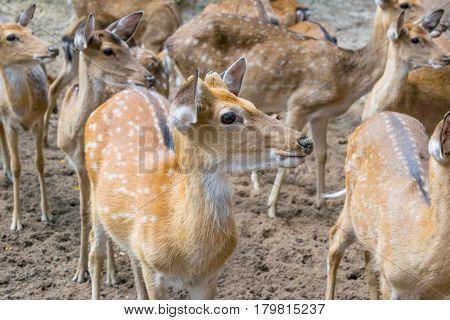 Herd of Sika deers, female with large eye, Vietnam, island, Nha Trang,
